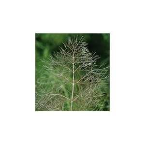 Davids Organic Non Hybrid Herb Fennel Bronze 100 Seeds