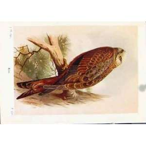 Kite Color Bird Fine Art Antique Print Old C1921 Animal